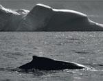 miniature-150x118-dans-le-sillage-baleines